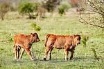 Dvojčata praturů se prohánějí po rezervaci u Milovic.