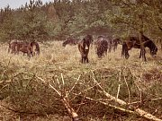 Rezervace na bývalém vojenském území v Milovicích už nebude v rámci České republiky jediným domovem divokých koní pocházejících z anglického Exmooru. Zkušenosti z Milovic využijí odborníci také v Podyjí.