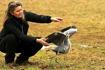 Na Huslíku tento týden vypouštěli hned čtyři vyléčená zvířata. Byli to volavka popelavá, kalous ušatý, zajíc polní a káně lesní.