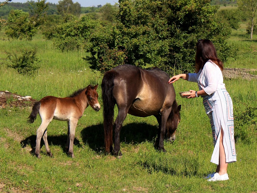 Hříbě divokého koně dostalo jméno po slovanském bohu blahobytu - Krodo. Hříbě v neděli pokřtila hejtmanka Středočeského kraje Jaroslava Pokorná Jermanová.