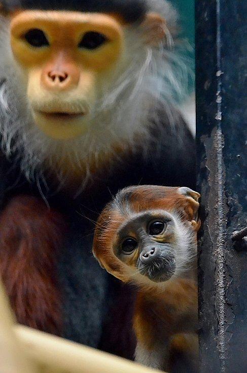 Opičky langur duk v chlebské Zoo.