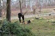 Vedení obce rozhodlo pokácet nekvalitní stromy především kvůli bezpečnosti. Vysadí za ně jiné.