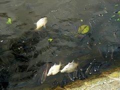 Úhyn ryb na Labi u Nymburka