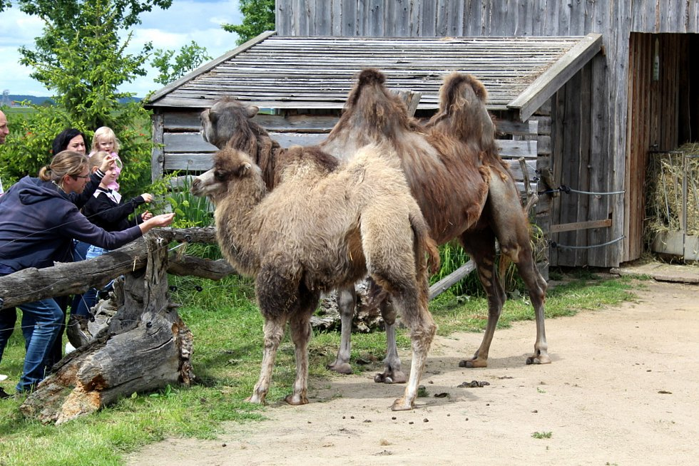 Návštěvníci aktuálně do chlebské Zoo nesmí. Snímky jsou z loňského křtu velbloudice.