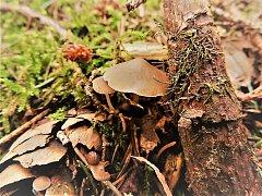 Členové místního houbařského spolku  se vydali na letošní druhou vycházku do lesa. A byli úspěšní. Les jim vydal některé časné jarní druhy hub.