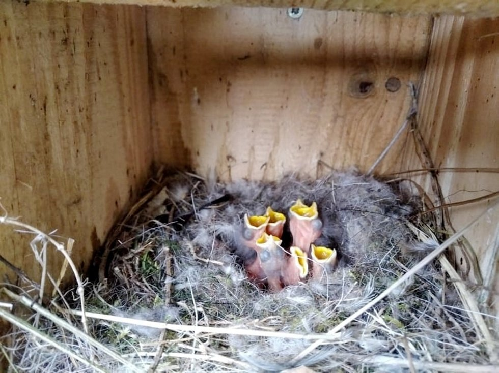 Mláďata se ozývají z ptačích budek na Huslíku.