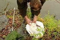Otrava botulotoxinem se projevuje hlavně na labutích a kachnách