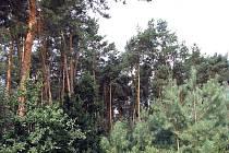 Lesní útvar borovic u hřbitova v Pískové Lhotě
