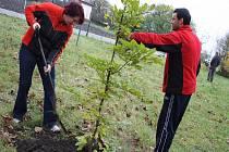 Sázení stromů v Bezručově v Městci Králové