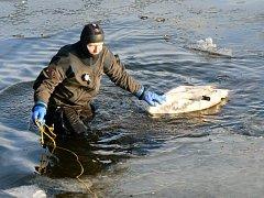 Člen poříčního oddělení vytahuje z Labe uhynulou labuť.