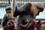 Mláďata jednoho z nejkrásnějších primátů světa, opičky langur duk, se v chlebské zoo narodila už v roce 2018. Jedná se o mimořádný chovatelský úspěch.