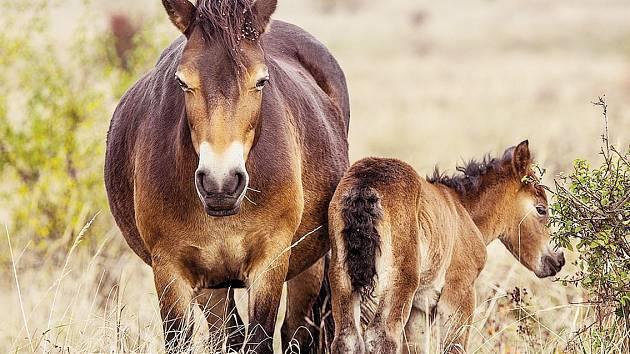 Klisna Sgurr porodila první hříbě divokého koně v České republice po staletích.