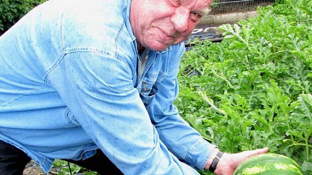 V Třebestovicích dozrává úroda melounů