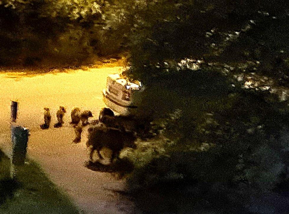 Divoká prasata se pohybují v milovické Lesní ulici.