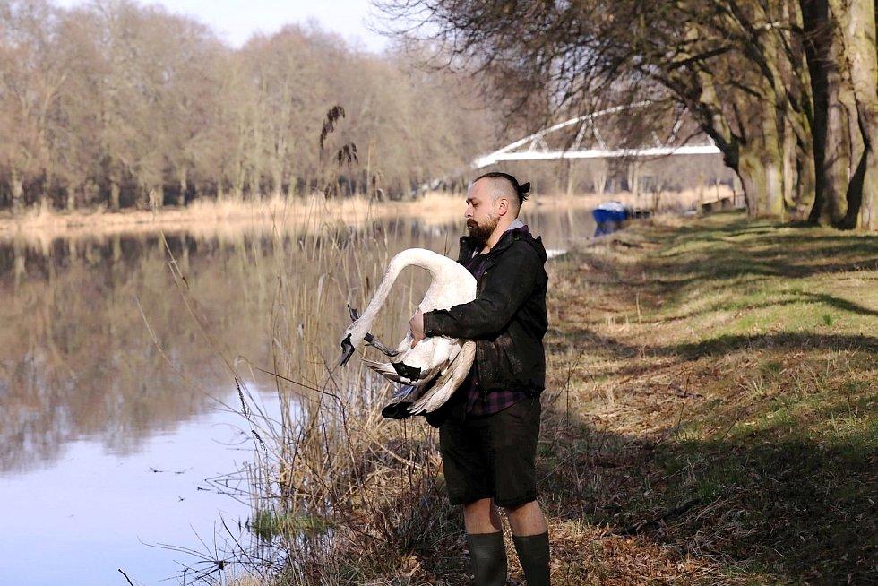 Návrat labutě do volné přírody.