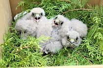 Trojice mláďat poštolek zachráněných z Chroustova