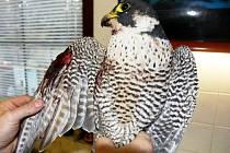 Samice sokola si vážně poranila křídlo.