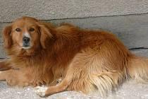 Matýsek - pes, který dostal ránu lopatou