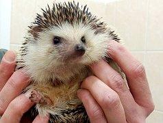 Posledním přijatým zvířetem byl na Silvestra večer ježek na snímku.
