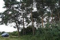 Lesní útvary borovic u hřbitova v Pískové Lhotě