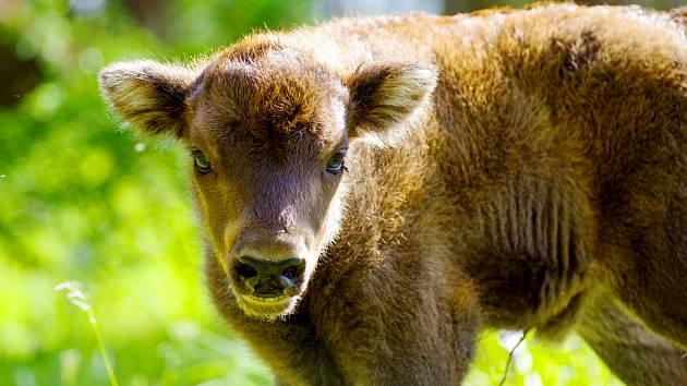 Nejvyšší přírůstek malých zubrů za pět let existence rezervace zaznamenali na pastvinách u Milovic.
