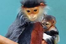 V zoologické zahradě Chleby na Nymbursku přišlo na svět mládě opice langur duk, nejvzácnějšího zvířete, které se v současné době nachází v Česku.