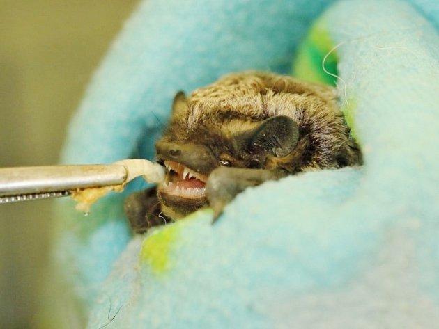 Netopýr je 1 500. živočich přijatý do Stanice pro zraněné živočichy.