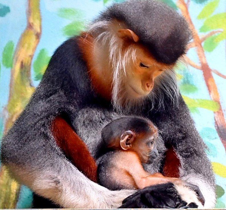 Mládě opičky langur duk patří mezi nejkrásnější primáty na světě.