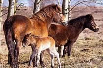Pastvina u Milovic.
