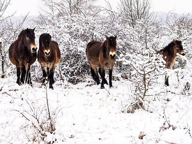 Část stáda milovických koní v rezervaci letos v zimě