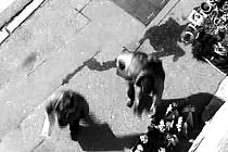 Kamery zachytily zlodjě v akci přímo v ulicích Nymburka.