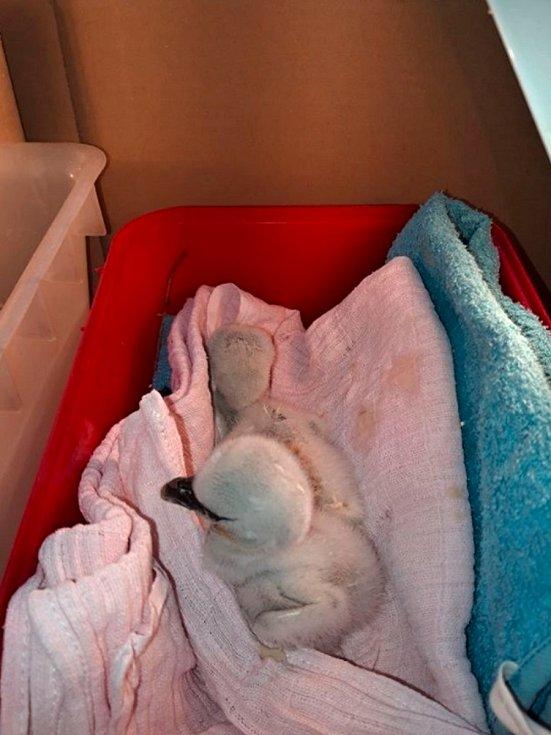 Na žádost pracovníků Záchranné stanice pro zraněné živočichy na Huslíku nedaleko Poděbrad jeli hasiči sundat z pětadvacet metrů vysokého komína čerstvě vylíhnutá mláďata čápa bílého.