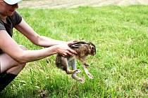 Vyléčení zajíci se rozprchli do volné přírody