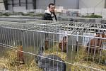 Výstava Náš chovatel nabízí řadu lákadel zejména pro milovníky králíků, holubů a vodní drůbeže.
