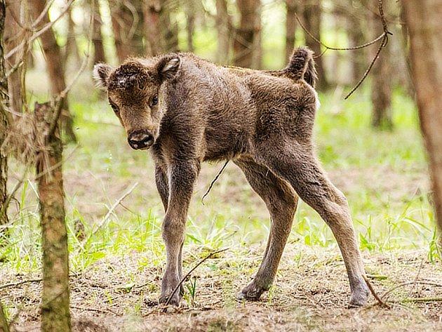 První mládě zubra se narodilo v milovické ohradě.