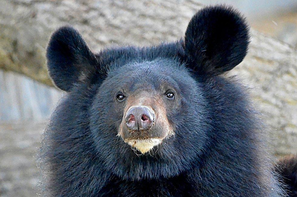 Zoo v pondělí opět otevře svoje brány, těšit se na vás budou třeba lvi nebo medvědi.