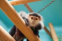 Languři duk si zvykají na nový domov v Zoo Chleby