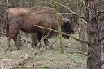 Do rezervace velkých kopytníků v bývalém vojenském prostoru Milovice ve čtvrtek dorazily dvě samice zubra evropského.