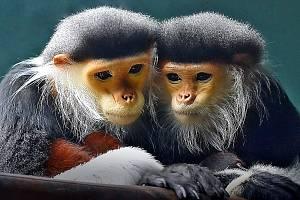 Opičky langur duk jsou jedním z lákadel chlebské zoo.