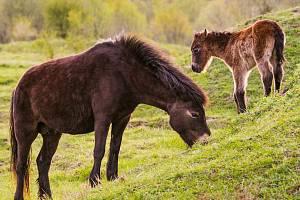 Pastva divokých koní a také zubrů a praturů vytváří na rozsáhlých plochách milovické rezervace vhodné podmínky pro život původních druhů včel.