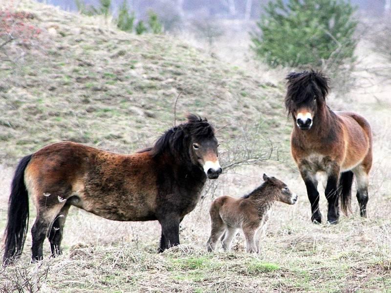 Oko návštěvníků potěší, když například v rezervaci objeví divoké koně s mláďaty.