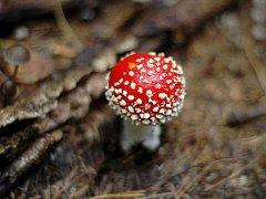 Muchomůrka červená vyvolává většinou psychotropní otravu. Ta naštěstí zpravidla nemívá vážné následky.