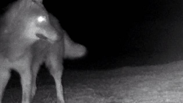 Záběry z fotopastí objevily vlka pohybujícího se u Milovic.