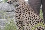 Gepardice Mzuri
