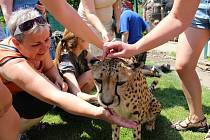 Osmiletá gepardice Mzuri byla jednou z hlavních atrakcí oslav 20 let od založení chlebské zoo.