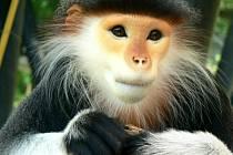 Languři patří mezi nejkrásnější primáty na planetě