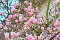 Magnólie, květy jara.