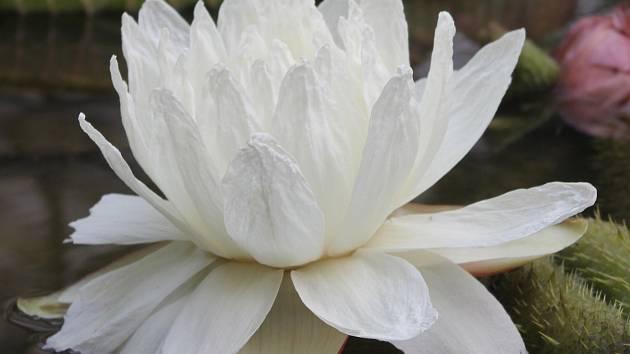 Victoria cruziana má sněhově bílé vonné květy.