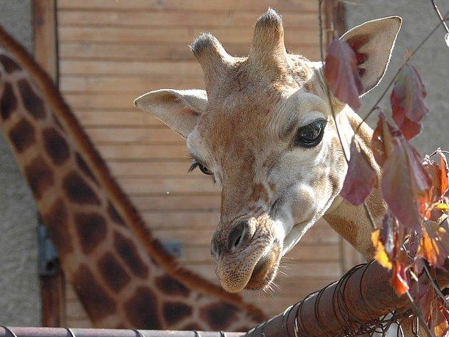 Žirafák Paul
