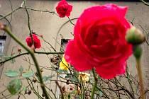 Začátek prosince a v Olomouci kvetou růže